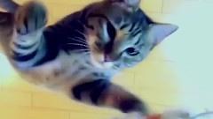 猫咪最厉害的跳高