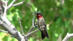 The Secret Life Of Hummingbirds