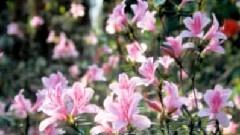 太阳里走来的羊角花