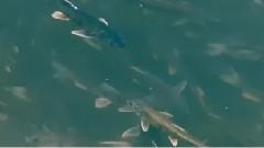 大美青海之鳇鱼