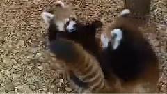 可爱的小熊猫打架嬉戏
