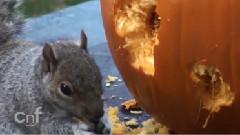Squirrel Carves Pumpkin