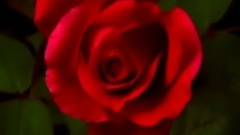 羞答答的玫瑰静悄悄地开