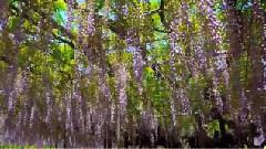 阿凡达里的灵魂树 - 紫藤